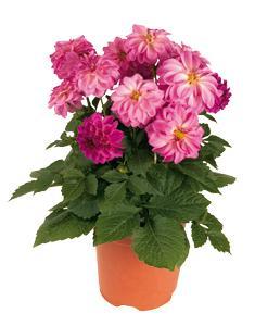 3 stk Dahlia - Hypnotica® Light Pink